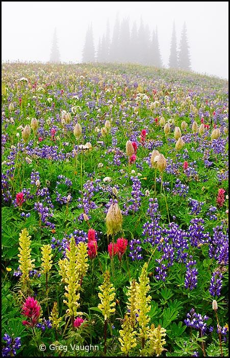 Wildflowers on Mazama Ridge at Mount Rainier National Park