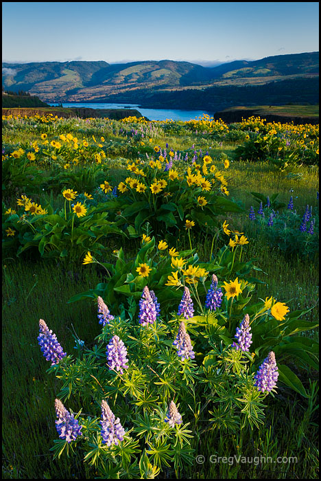 lupine and balsamroot blooming at Tom McCall Preserve in the Columbia River Gorge
