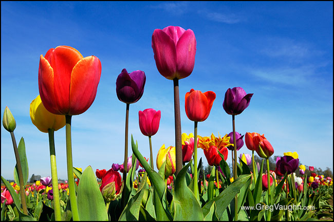 Tulip Photography In The Pacific Northwest