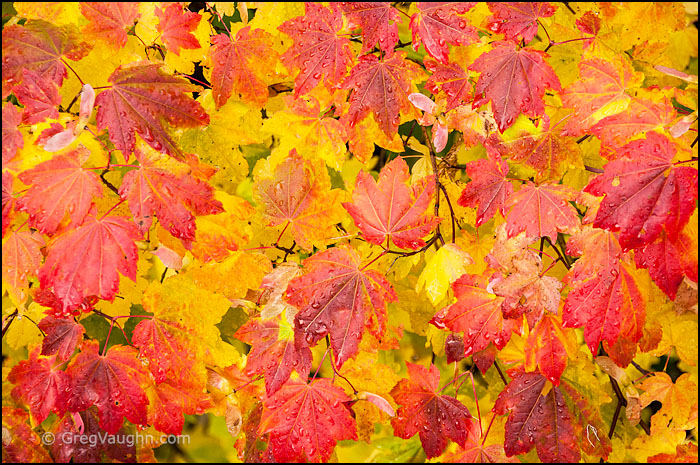 vine maple leaves with fall color