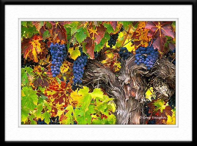 Cabernet Sauvignon wine grapes on vine