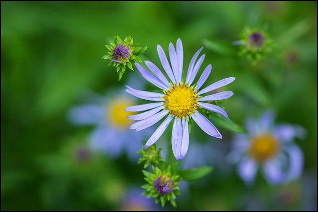Cascade aster flower