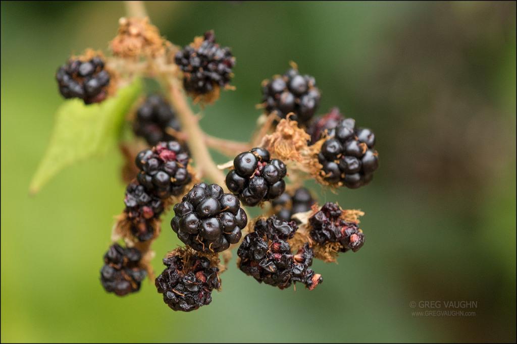 blackberry fruits on the vine