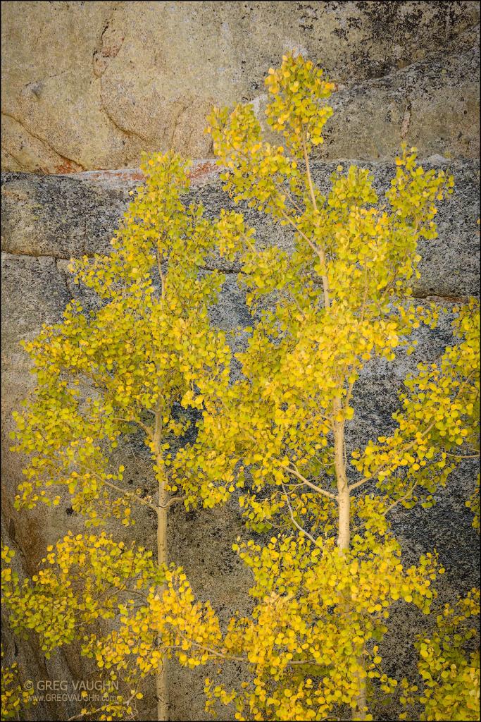 aspen trees against granite cliff