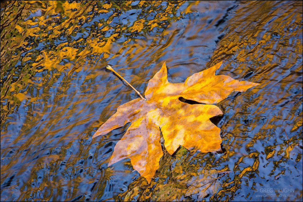 maple tree leaf in fall color on wet rocks