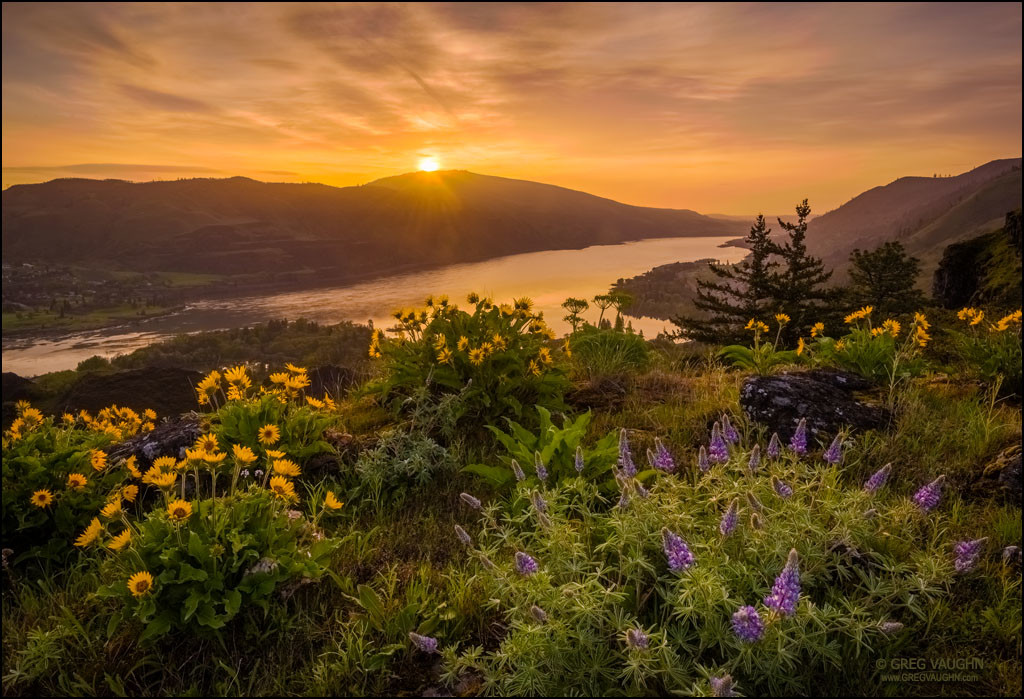 Lupine and balsamroot at Rowena Crest, Oregon, with sunrise over the Columbia River Gorge.