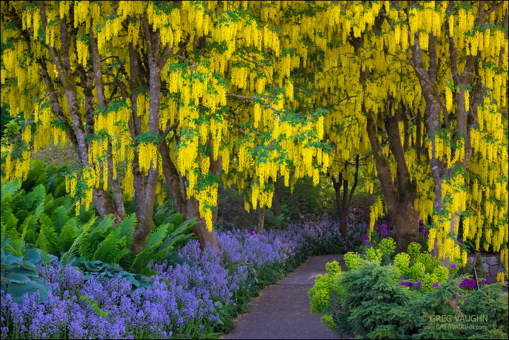 Laburnum trees, purple alliums and blue bells in bloom at VanDusen Botanical Garden, Vancouver, British Columbia, Canada.