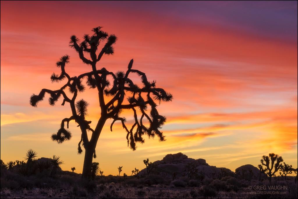 Joshua trees at sunrise; Joshua Tree National Park, California.