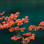 Vine Maple in Autumn