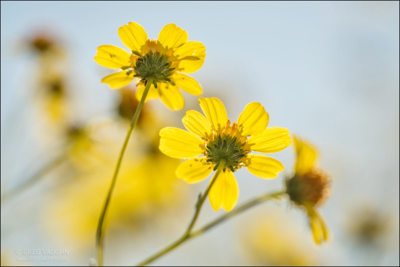 Brittlebush flowers; Anza Borrego Desert State Park, California.