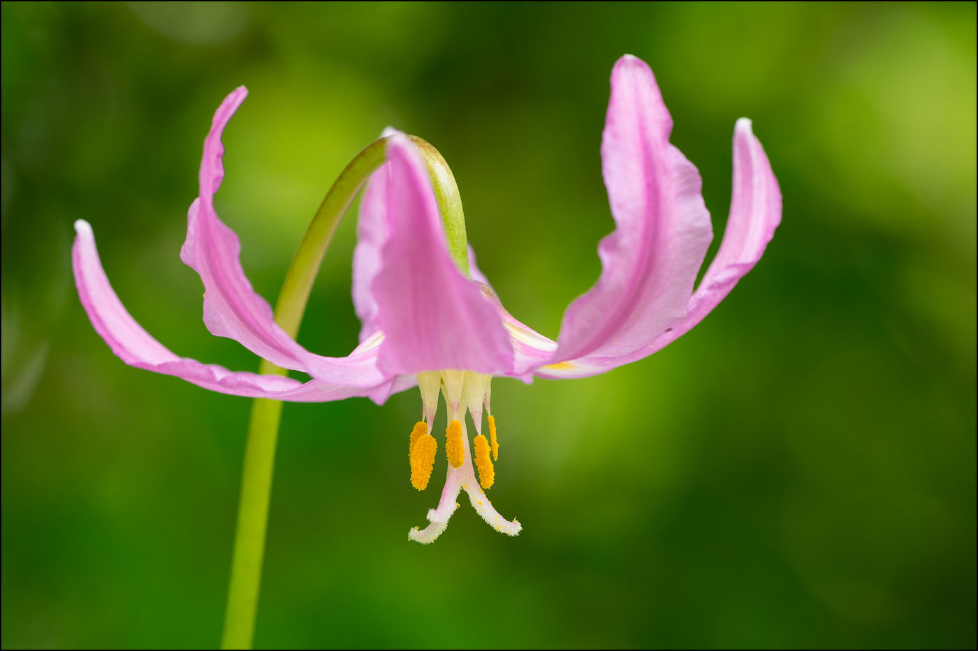 close-up of Pink Fawn Lily blossom