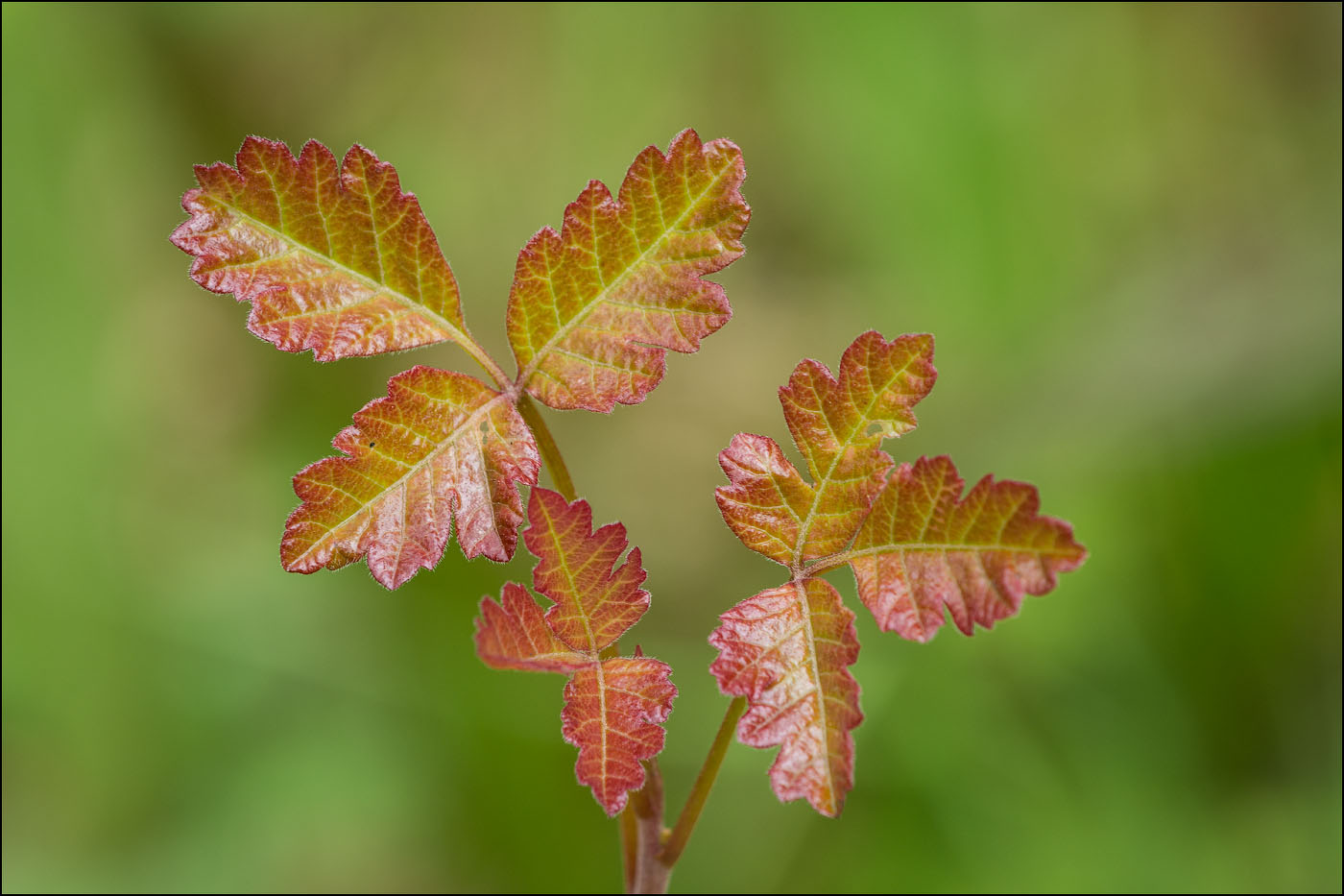 Young leaves of Poison Oak with reddish edges.