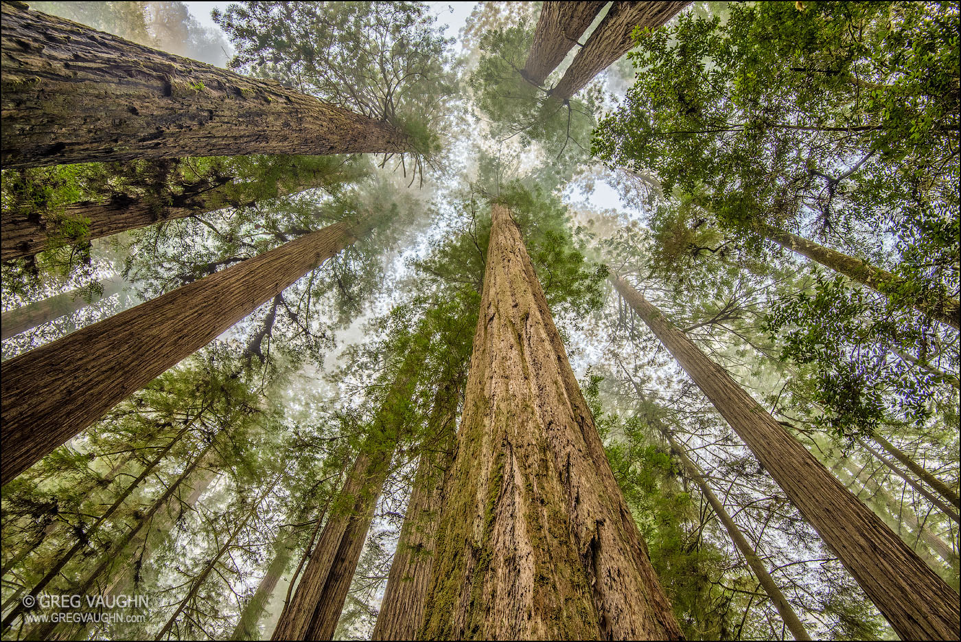 Looking up through a forest of tall redwood trees