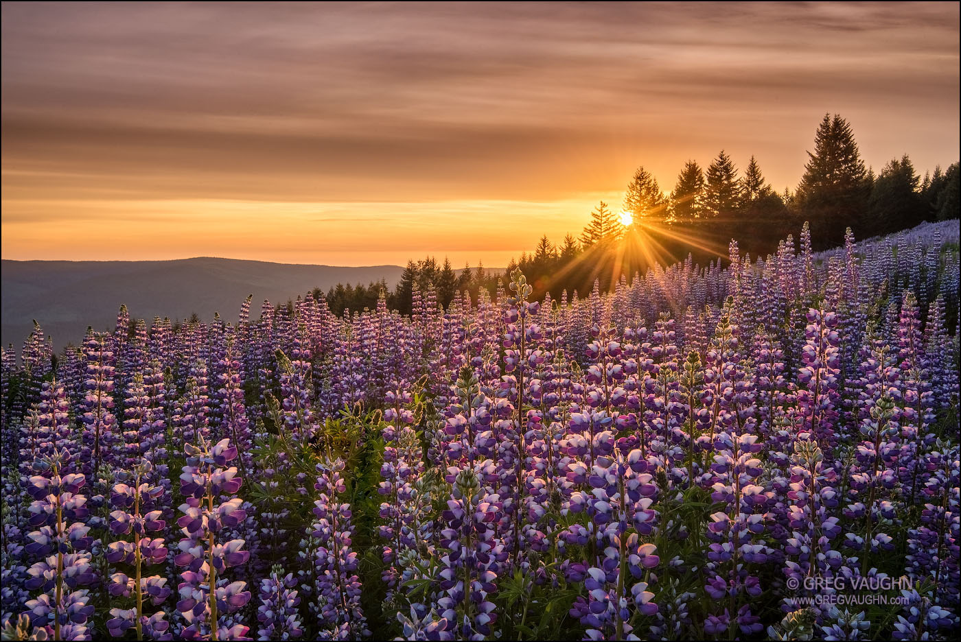 field of blooming lupine with sun setting behind trees