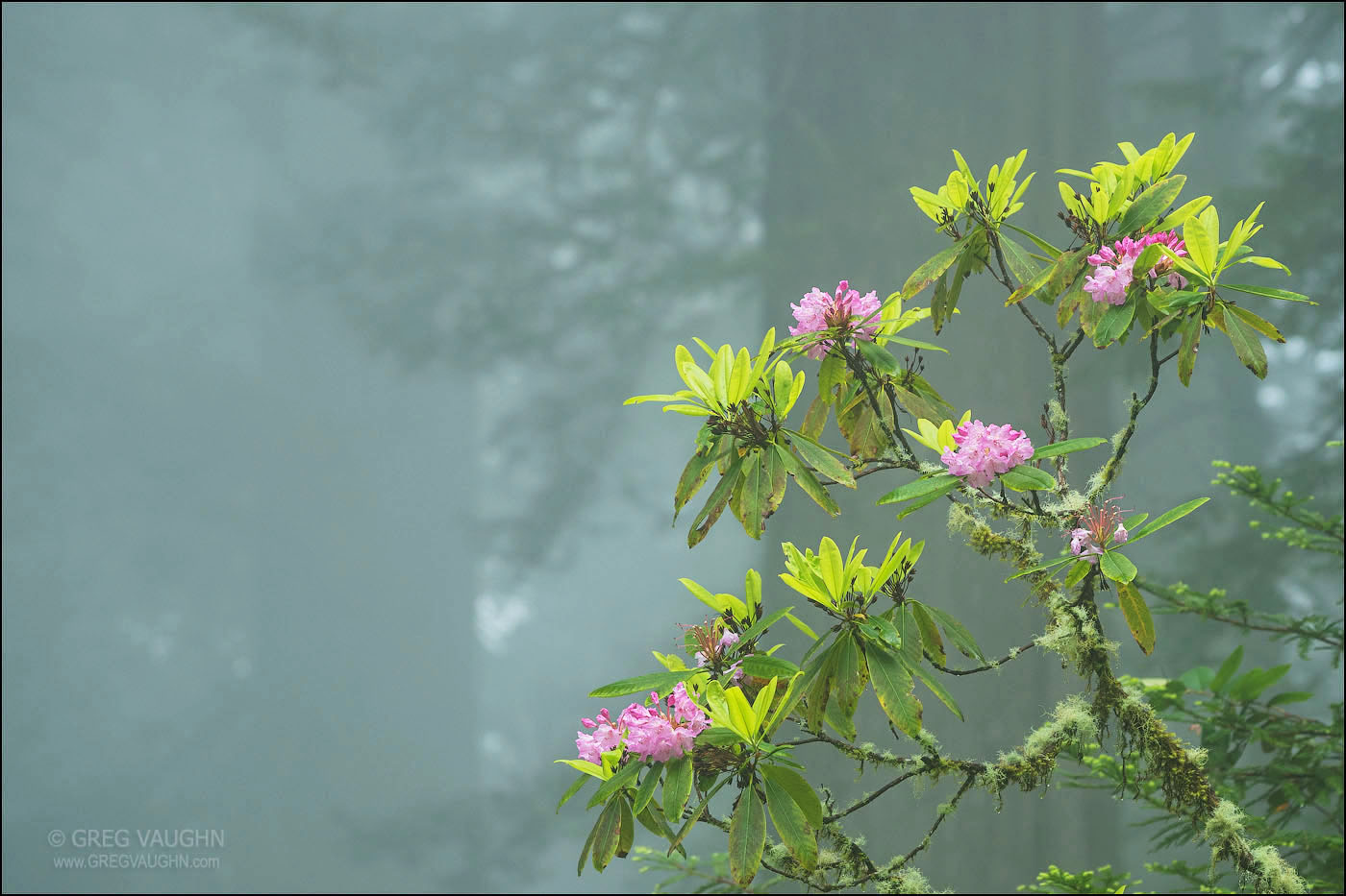 Rhododendron bush with pink flowers in a foggy forest